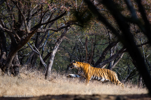 Stalking Tigress. Ranthambhore, India. 2016