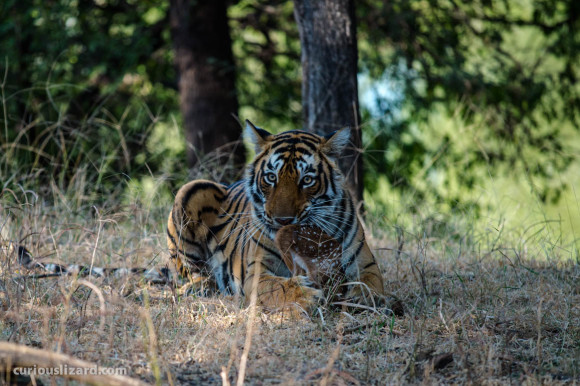 Tigress cleaning her kill. Ranthambhore, India. 2016